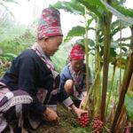 thu hoạch thảo quả