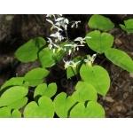 Lá Dâm dương hoắc – câu chuyện thú vị quanh tên gọi của loại thảo mộc bổ dương hàng đầu