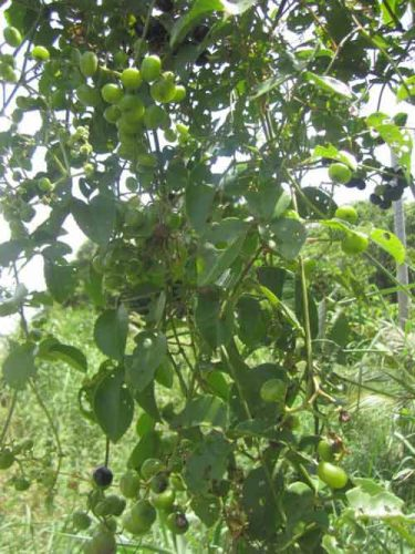 hình ảnh cây nho rừng