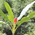 Hình ảnh cây chuối hột rừng