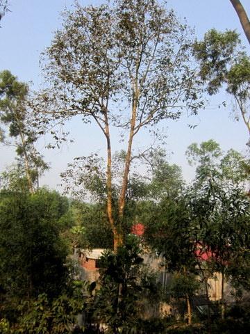 cây dổi mọc rất cao - cây càng lâu năm càng cho hạt chất lượng