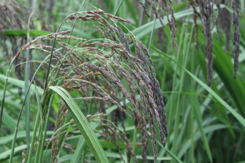 hình ảnh về lúa nếp cẩm