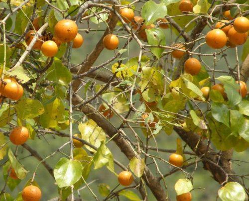 hạt mã tiền - cây củ chi