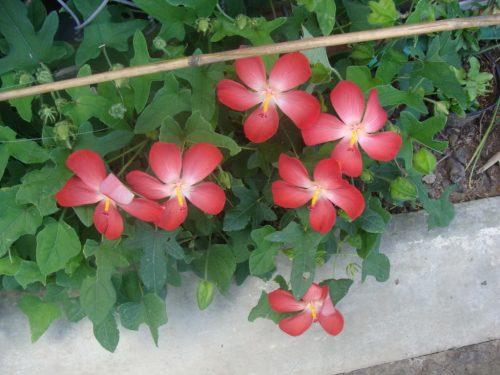 hình ảnh cây và hoa sâm bố chính