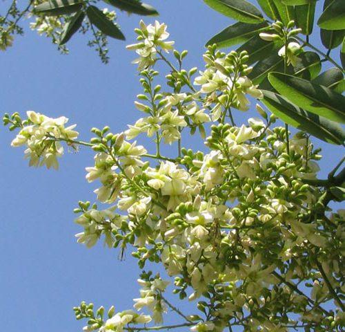 1. Tác dụng chữa bệnh của hoa hòe, vị thuốc quý ít người biết-ảnh 1