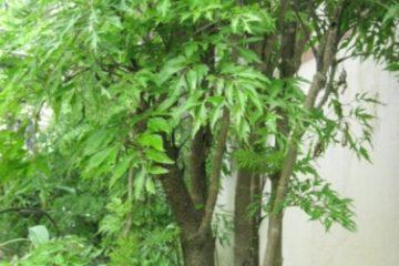 Cây đinh lăng – 11 điều thú vị bạn chưa biết về tác dụng của cây đinh lăng