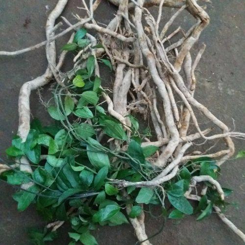củ và lá cây sâm xuyên đá