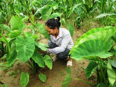 Khoai sọ Thuận Châu trồng trên đồi ở Sơn La