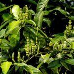Hiệu quả không ngờ của cây gắm trong hỗ trợ điều trị Gout