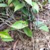 Hình ảnh cây ba kích tím