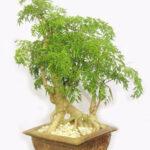 Tác dụng của cây đinh lăng thảo dược vườn nhà cực tốt cho sức khỏe