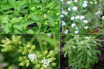 Tác dụng của cây cỏ ngọt – 6 Lợi ích tuyệt vời khi dùng cỏ ngọt