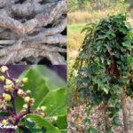 hình ảnh cây hà thủ ôhình ảnh cây hà thủ ô
