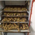 hình ảnh sấy khô tam thất tại cửa hàng Rừng Vàng
