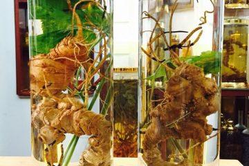 Điểm danh một số loại sâm rừng quý hiếm tại Việt Nam có giá trị cực tốt