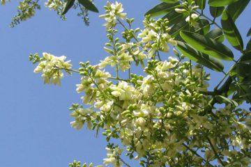 Tác hại của hoa hòe – Nguyên nhân tác dụng phụ của hoa hòe là gì?