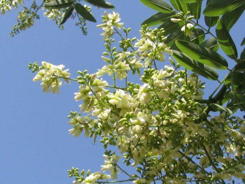 Tác dụng chữa bệnh của hoa hòe, vị thuốc quý ít người biết-ảnh 1