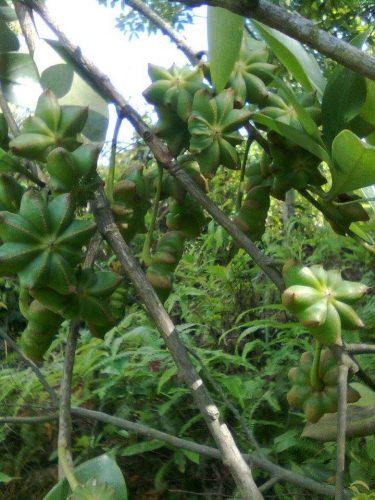 cây và quả xanh hoa hồi