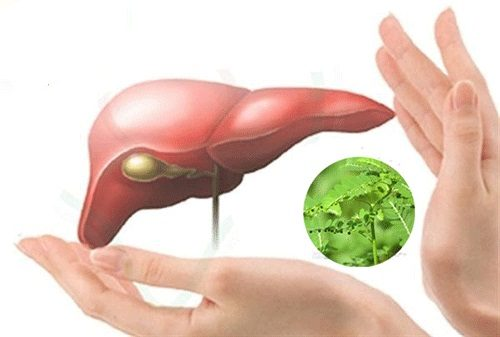 diệp hạ châu thảo dược số 1 bảo vệ gan