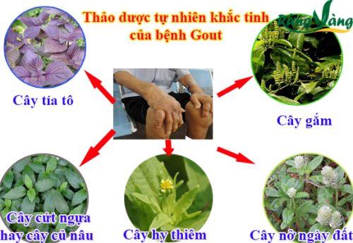 các thảo dược khắc tinh bệnh Gout