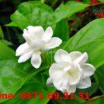 Các bài thuốc chữa bệnh dùng hoa nhài giúp cả đời khỏe mạnh