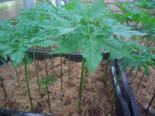 Cây sâm mầm Saponia Hàn Quốc được trồng tại Việt Nam