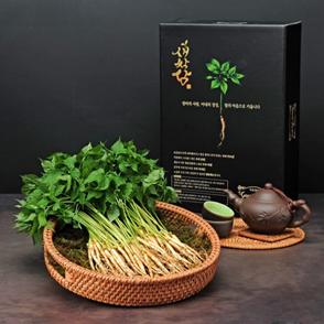 Sâm mầm Saponia tươi làm trà
