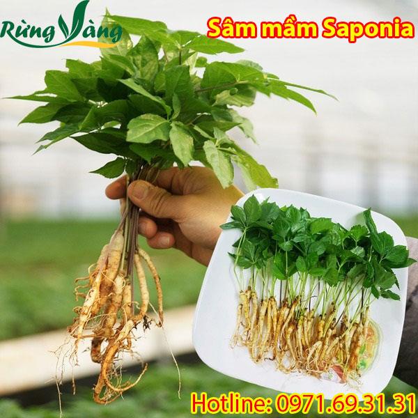 nhân sâm mầm Saponia tươi